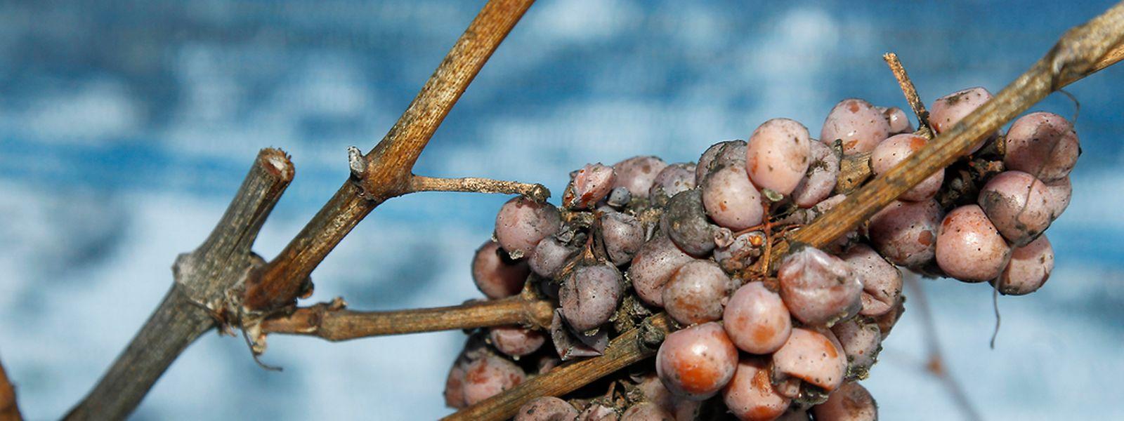 Bei klirrender Kälte wurden am Montag die gefrorenen Trauben für den Eiswein gelesen.