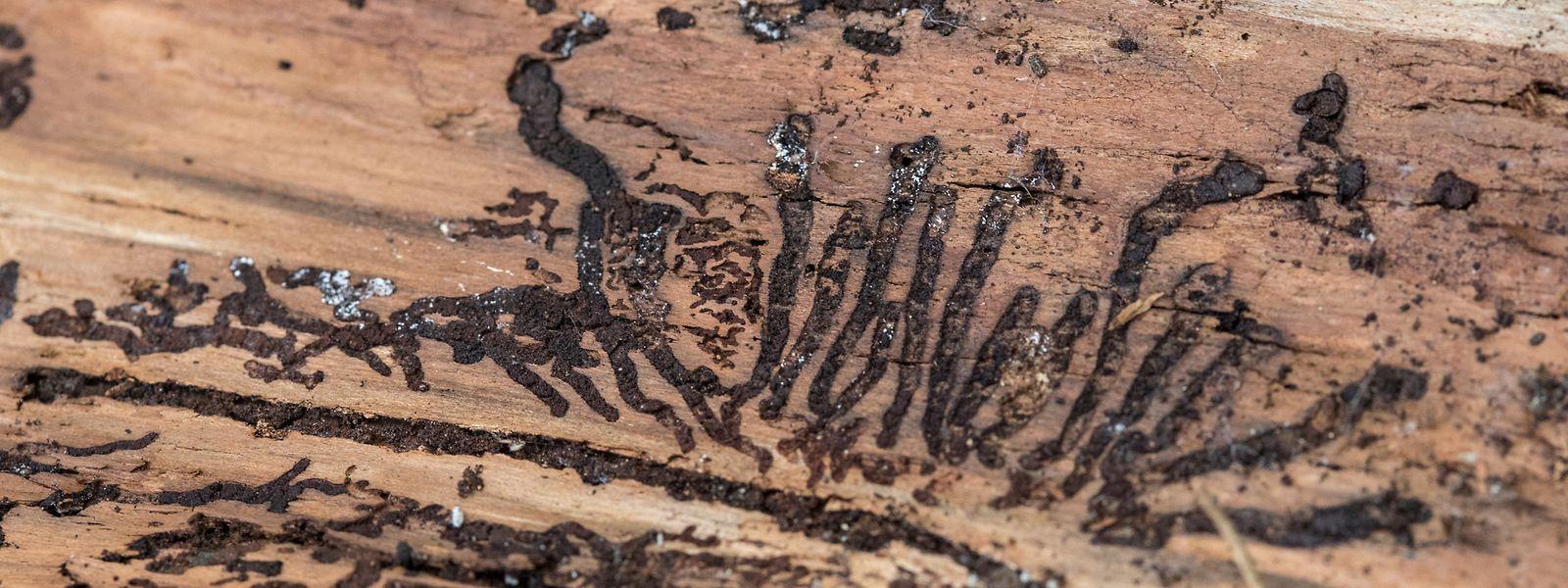 Les scolytes pondent sous l'écorce des arbres et leurs larves se nourrissent de la sève. Ce qui peut mener à la mort de l'arbre..