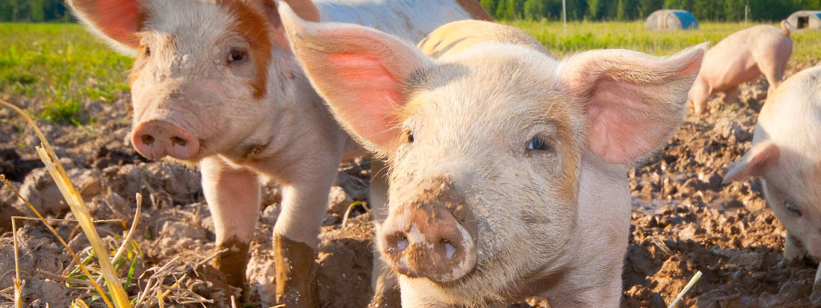 """Ein Grund für den aktuell niedrigen Schweinefleischpreis ist, dass China wegen nachgewiesenen Fällen der Afrikanischen Schweinepest in Deutschland alle Importe von dort ausgesetzt hat, was zu einer Art """"Stau"""" führt."""