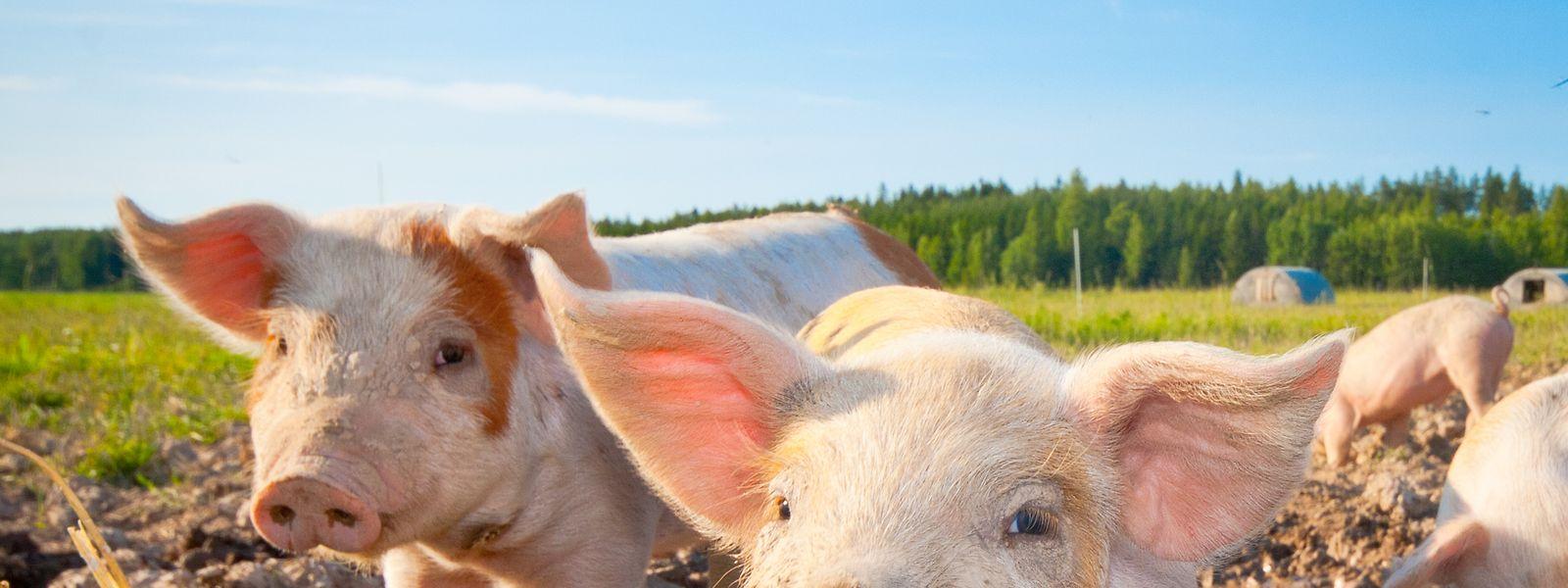 Zurzeit stehen vor allem die Schweinebauern unter Druck. Wegen der Folgen der Corona-Pandemie und der Afrikanischen Schweinepest ist der Preis auf 1,18 Euro pro Kilo gefallen.