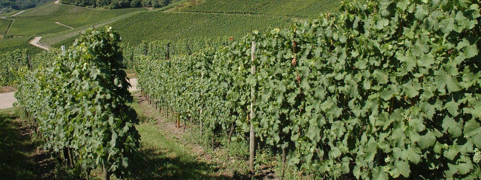 La consommation de vin a plongé avec le confinement et les viticulteurs cherchent des débouchés avant la prochaine récolte.
