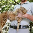 "An employee of the French Forest and Hunting Office (Office Nationale des Forets et de la Chasse) Charles-Antoine Cecchini holds a ""ghjattu-volpe"" (fox-cat) Felis Silvestris on June 12, 2019 in Asco on the French Mediterranean island of Corsica. - The Corsican fix-cat is a new specie of feline according to the ONCFS. (Photo by PASCAL POCHARD-CASABIANCA / AFP)"