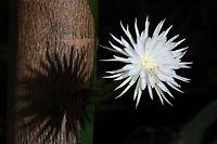 20.02.2021, Großbritannien, Cambridge: Die seltene amazonische «Mondblume» erblüht im Botanischen Garten der Universität Cambridge. Per Livestream haben Menschen in aller Welt das Aufblühen einer seltenen Pflanze im botanischen Garten der britischen Universität Cambridge beobachtet. Die «Selenicereus wittii», auch Mondblume genannt, blühte am Samstagnachmittag überraschend für einige Stunden auf, wie auf der Seite des botanischen Gartens zu beobachten war. Foto: Joe Giddens/PA Wire/dpa +++ dpa-Bildfunk +++