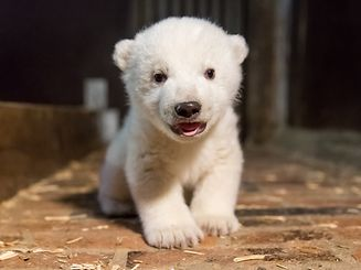 """(FILES) This handout photo released by Tierpark Berlin (Berlin zoo) on January 13, 2017 and taken on January 12, 2017 shows a baby polar bear born at the Tierpark on November 3, 2016.  The male baby bear was given a name on February 1, 2017 - he is called Fritz. / AFP PHOTO / TIERPARK BERLIN / HO / RESTRICTED TO EDITORIAL USE - MANDATORY CREDIT """"AFP PHOTO / TIERPARK BERLIN / HANDOUT"""" - NO MARKETING NO ADVERTISING CAMPAIGNS - DISTRIBUTED AS A SERVICE TO CLIENTS"""