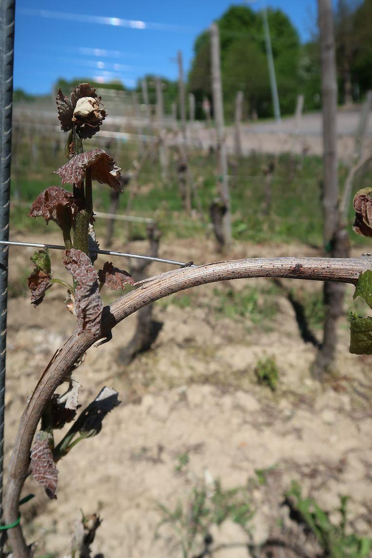 Bei Frostschäden in Weinbergen sind die Austriebe an den Pflanzen nicht mehr grün, sondern zusammengekraust und dunkelbraun bis schwarz verfärbt.