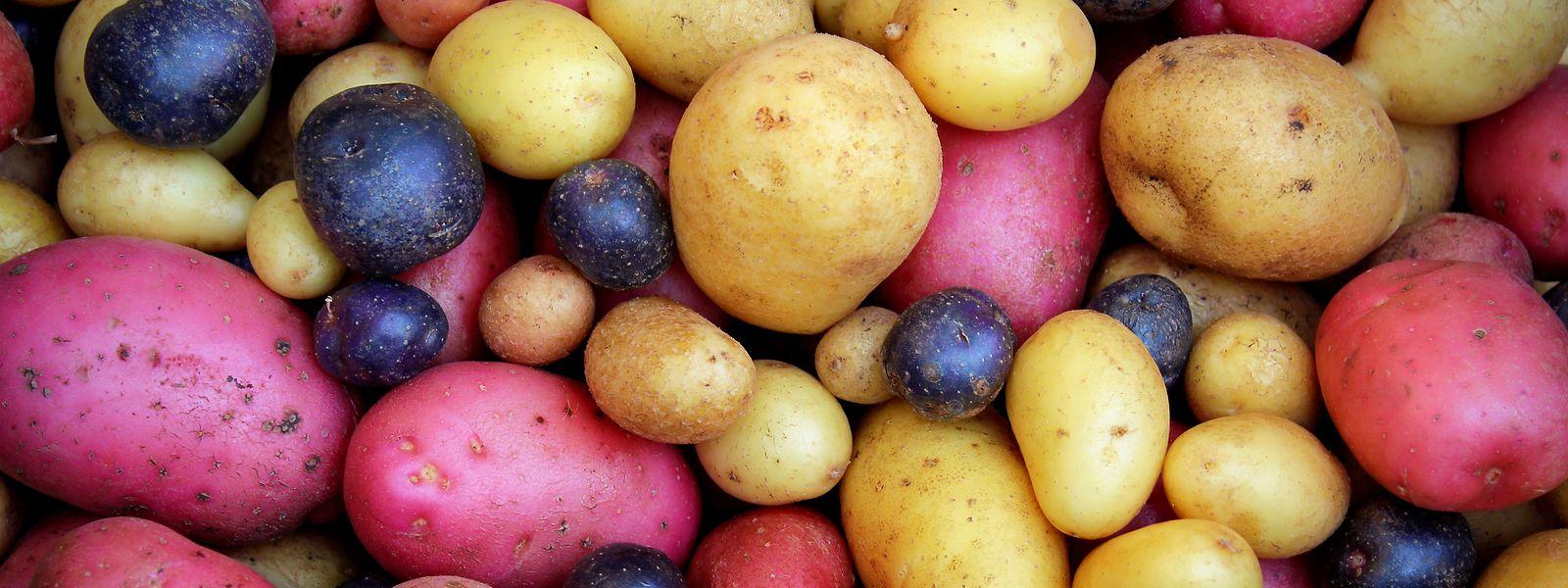 Nach Schätzungen gibt es weltweit mehr als 7.000 Kartoffelsorten – und es kommen immer wieder neue Züchtungen hinzu.