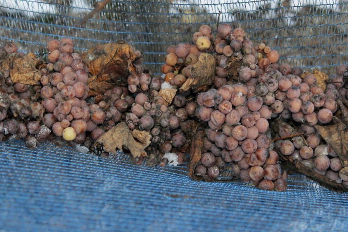 Die Trauben werden von den Reben abgeklopft und fallen daraufhin in die Folie.