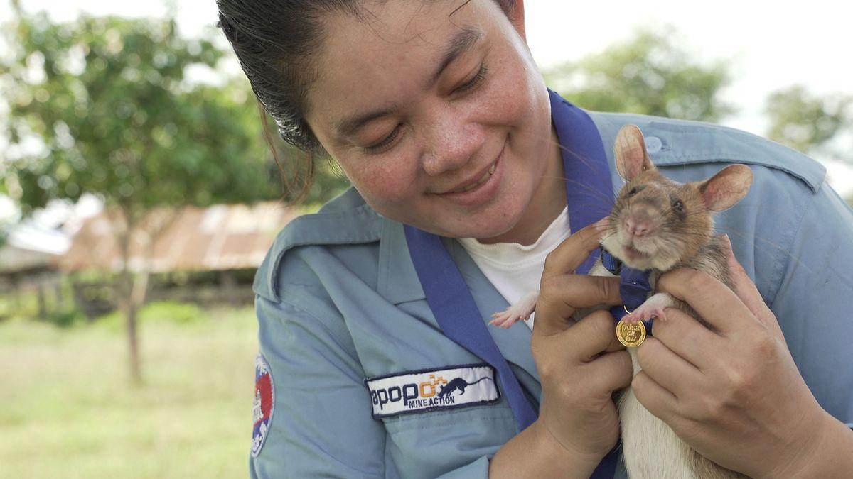 Magawa soll fortan helfen, andere Ratten auszubilden.