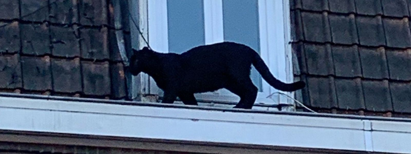 Der etwa sechs Monate alte Panther spaziert in der Abendsonne über die Dächer von Amentières.