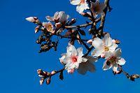 07.01.2020, Spanien, Palma: Die ersten Blumen blühen an einem Mandelbaum auf Mallorca. Auf Mallorca hat die Mandelblüte 2020 in vielen Regionen deutlich früher begonnen als gewöhnlich. Foto: Clara Margais/dpa +++ dpa-Bildfunk +++