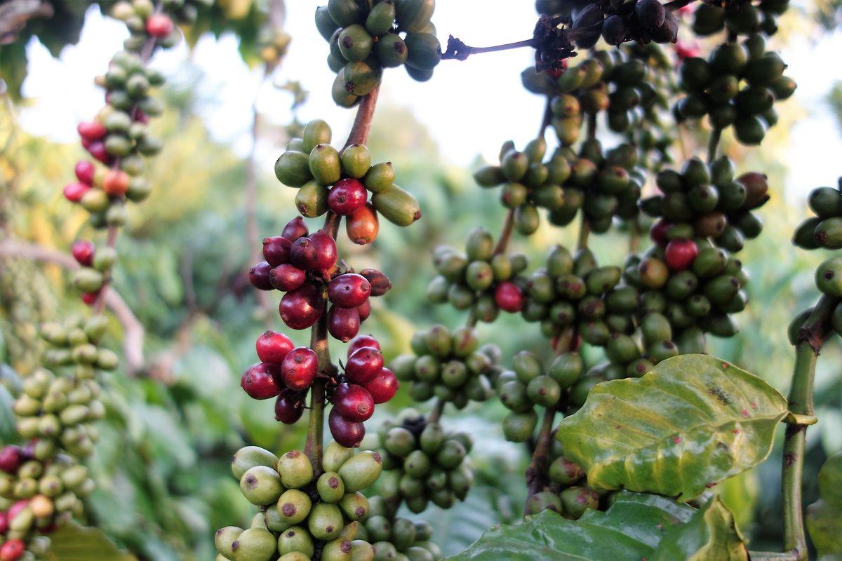 In den Gärten der Kooperative gedeiht der Kaffee gesund und üppig.