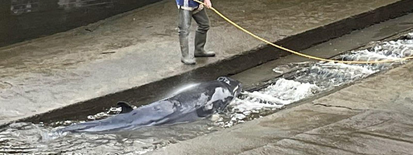 Das von Jake Manketo auf Twitter veröffentlichte und zur Verfügung gestellte Foto zeigt den Wal der in einer Themse-Schleuse von einem Mann mit Hilfe eines Wasserschlauchs nass gehalten wird.