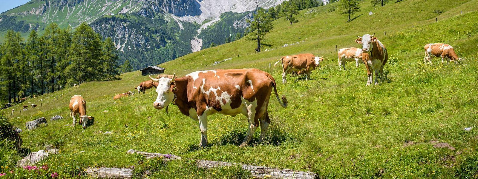 Eigentlich sind Kühe friedliche Tiere - werden sie erschreckt, können sie aber auf der Flucht sich und andere verletzen.
