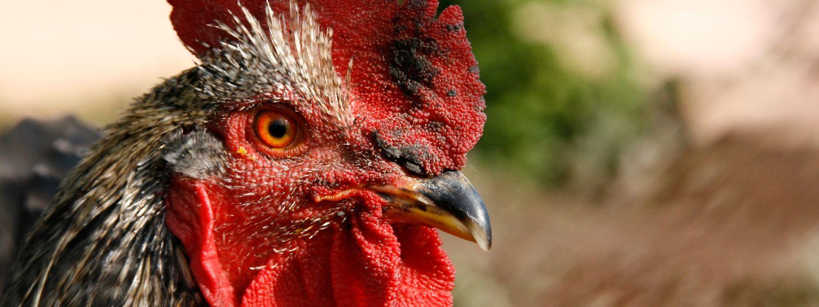 Approximativement 132.000 volailles sont élevées au Luxembourg.