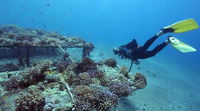 Researchers from the Interuniversity Institute for Marine Sciences in the southern Israeli resort city Eilat monitor coral growth while scuba diving on June 12, 2017 in the Red Sea off Eilat.   Global warming has in recent years caused colourful coral reefs to bleach and die around the world -- but not in the Gulf of Eilat, or Aqaba, part of the northern Red Sea. At the Interuniversity Institute for Marine Sciences in southern Israeli resort city Eilat, dozens of aquariums have been lined up in rows just off the Red Sea shore containing samples of local corals.  / AFP PHOTO / MENAHEM KAHANA