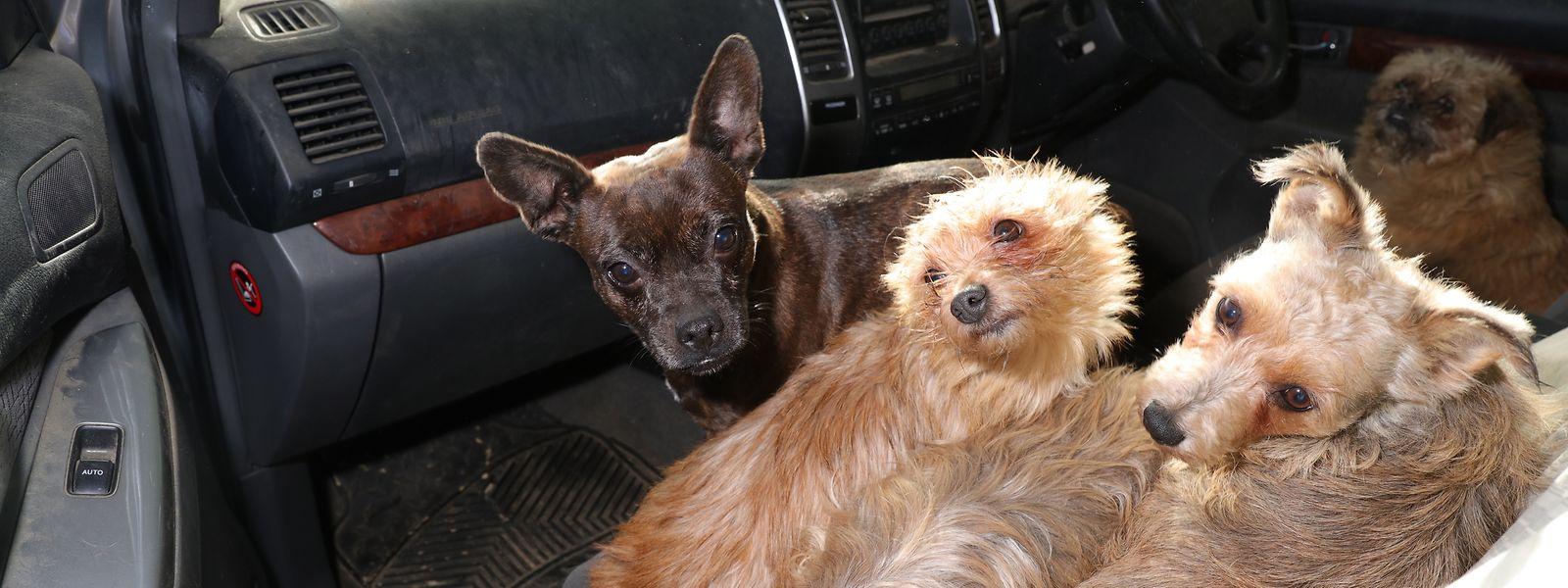 In Wales gelang es der Polizei nach einem Einsatz in der Grafschaft Carmarthenshire, fast 30 entführte Hunde an ihre rechtmäßigen Besitzer zurückzugeben.