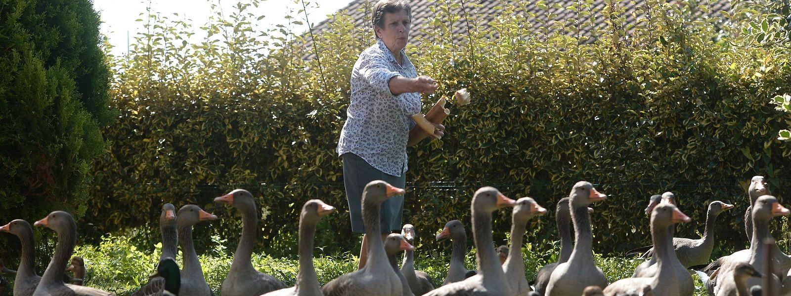 Dominique Douthe e os seus patos e gansos