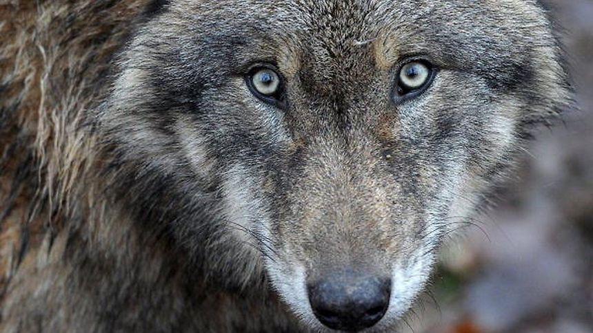 Glaubt man den belgischen Beobachtungen, wurden rund 30 Kilometer von Luxemburg vereinzelte Wölfe gesehen.
