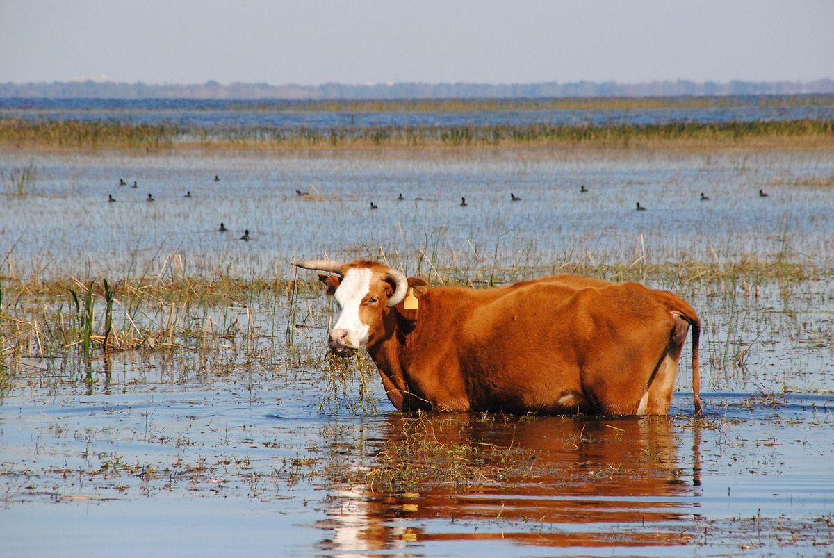 """Das Quellbecken des St. John's River ist für alle """"Seekühe"""" attraktiv."""