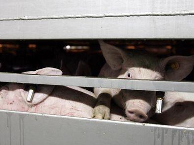 Eingepfercht: Oft können sich Schlachttiere in Transportern aus Platzmangel nicht mehr bewegen.