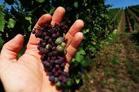 Certaines grappes ont complètement grillées sous les chauds rayons du soleil de cet été.