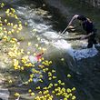 29.4. Peitruss / Duck Race 2017 / Foto:Guy Jallay