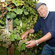 Traubenlese an der Mosel - Nicolas Beissel aus Bech-Kleinmacher beim Lesen von reifen Rieslingtrauben