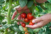 Damit im Sommer die Tomaten-Ernte ein Erfolg wird, sollte man schon im Winter mit der Planung fürs Pflanzen beginnen.