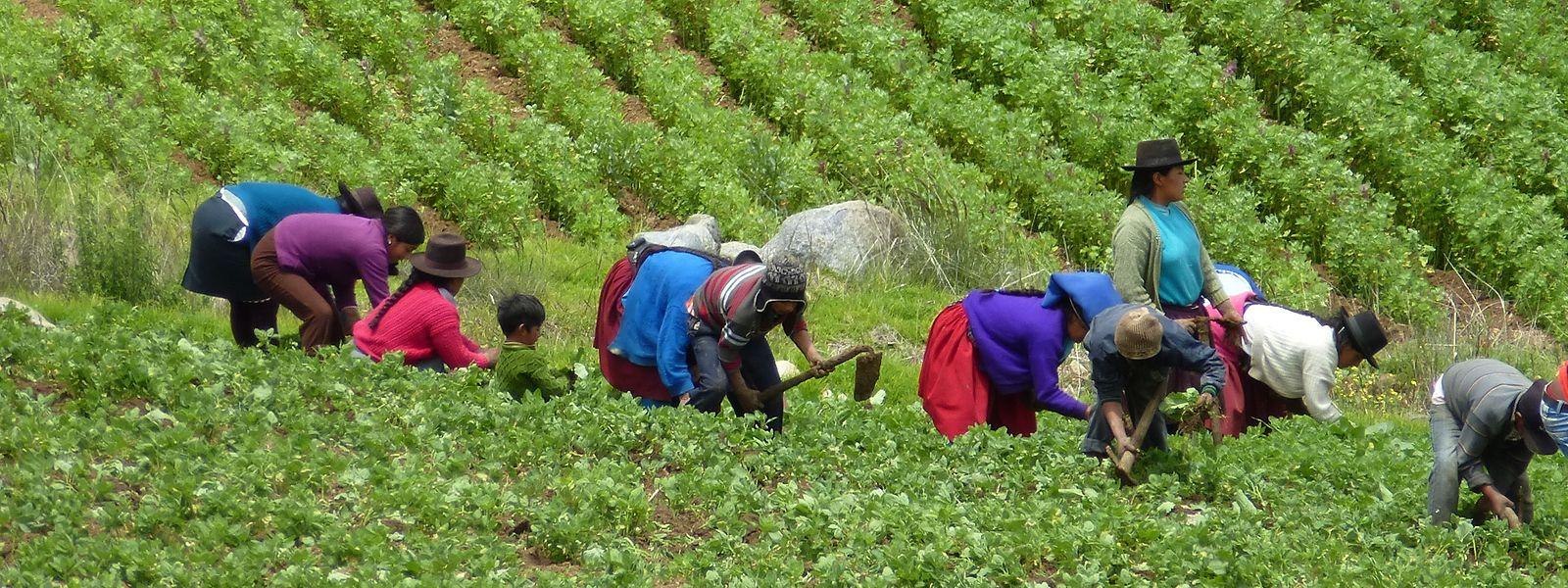 Viele Familien leben von der Quinoa-Ernte.