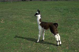 Porque no visitar a Quinta das Alpacas em Hovelange, este fim-de-semana?