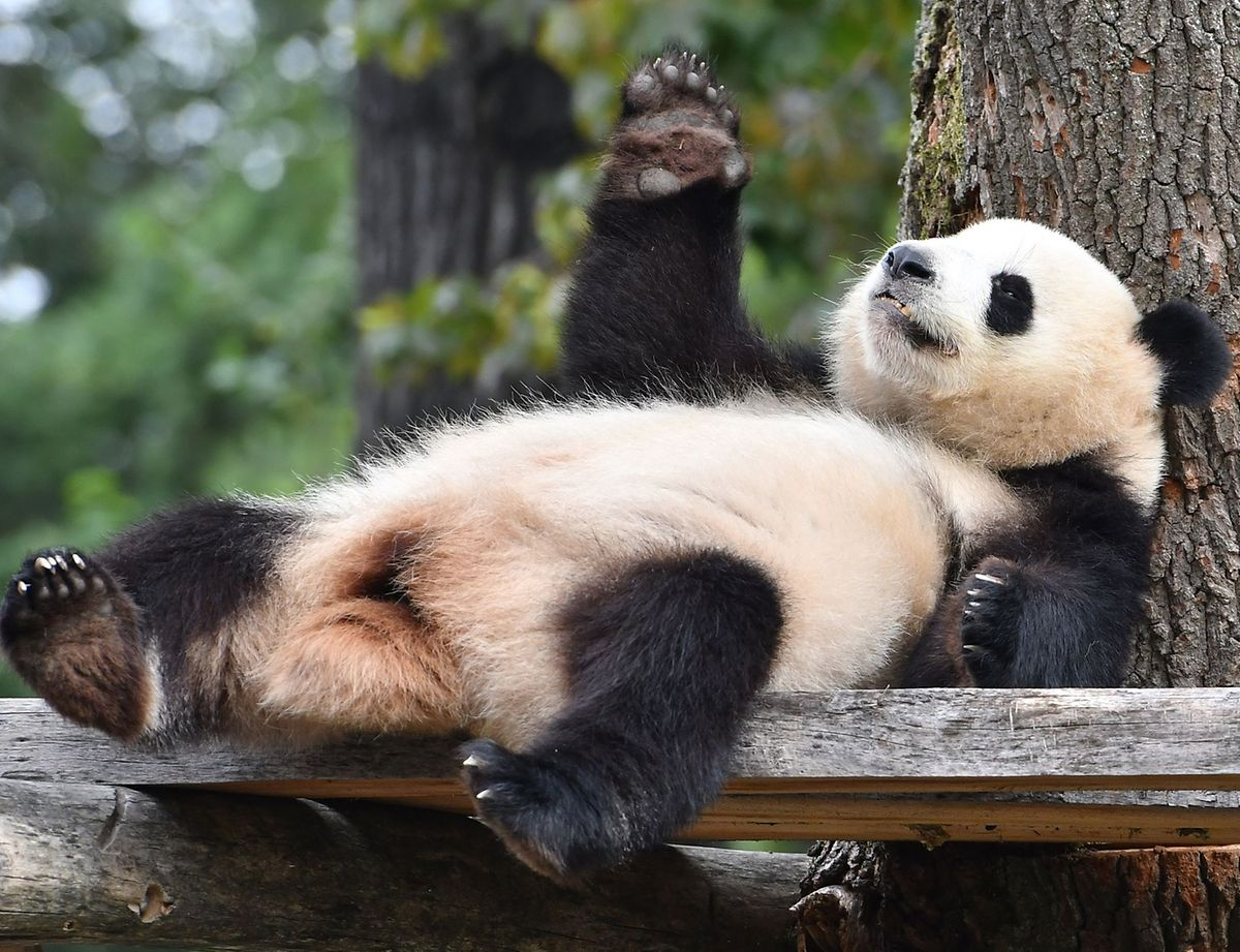 Ebenfalls ein Publikumsliebling: Panda-Dame Meng Meng zeigt sich in ihrem Gehege im Zoo.