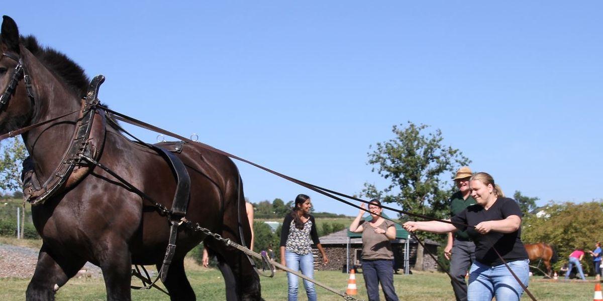 Bei den Teambuilding-Übungen in der Robesscheier lernen die Teilnehmer unter anderem, wie sie Ardenner Pferde am besten führen.