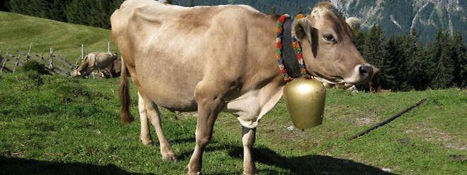 Manche Kuhglocken sind schon gewaltig groß.