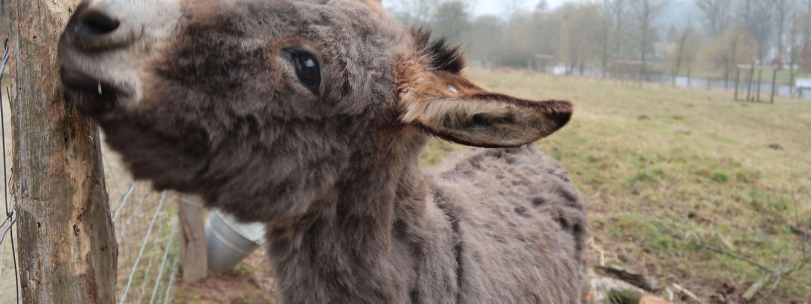 """Sechs Esel sind mittlerweile Teil des Karnevalsvereins """"D'Eeselen aus der Sauerstad Dikrich""""."""
