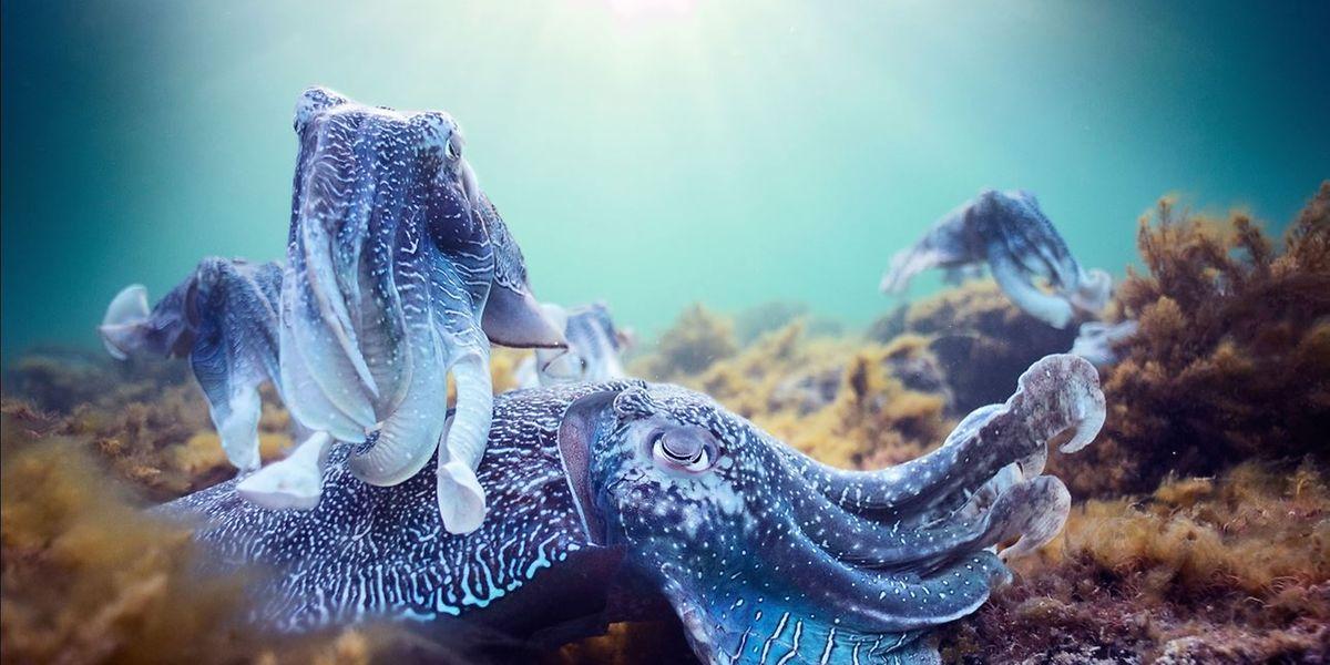 """Intime Einblicke: Die Reihe """"Der blaue Planet"""" zeigt außergewöhnliche Momentaufnahmen wie die Paarung der Riesensepien, einer Tintenfischart."""
