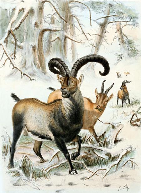 """Ein Pyrenäensteinbock, dargestellt in dem Buch """"Wild oxen, sheep & goats of all lands, living and extinct"""" (1898) von Richard Lydekker. Darstellung von Joseph Wolf."""