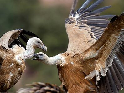 Two gay male vultures, Isis and Nordhorn, adopt an egg.
