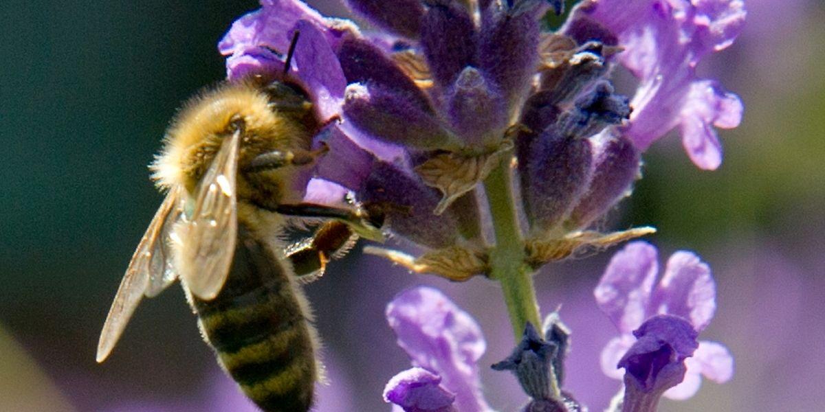 Ein Bienenvolk braucht rund 30 bis 50 Kilogramm Pollen pro Jahr - Hobbygärtner können dies zu ihrem Vorteil nutzen.