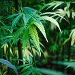Die Nutzung von medizinischem Cannabis ist vorerst auf drei Krankheitsbilder begrenzt.