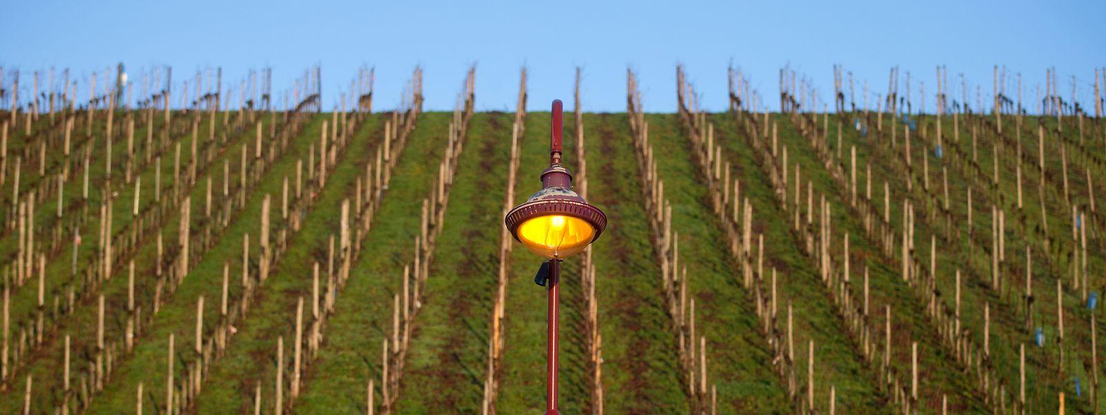 Trois cépages ont été plus sensibles au froid dans les vignes du Luxembourg : gewurztraminer, chardonnay et muscat mais sur de petites surfaces.