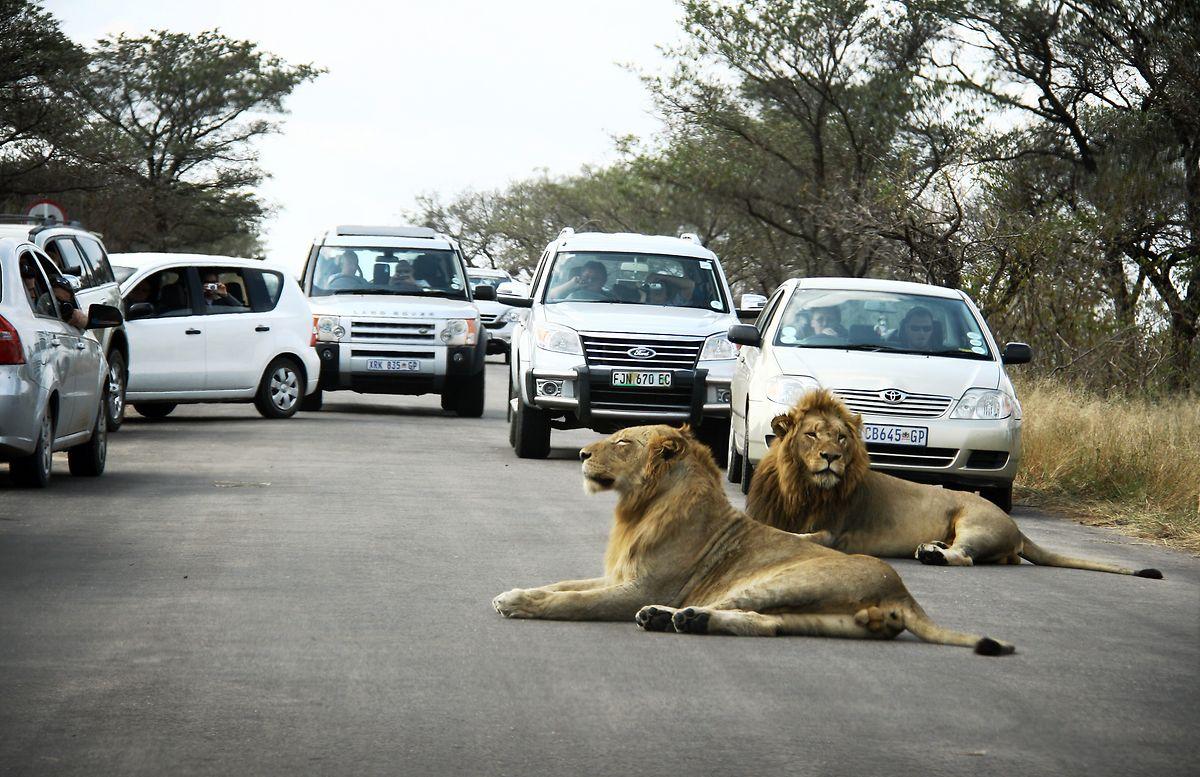 Südafrika, Skukuza: Autos stehen im Kruger Nationalpark vor zwei Löwen herum, die sich auf der Straße hingelegt haben.