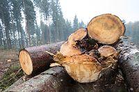 Vor allem die Trockenheit und der Borkenkäfer sorgen für Schäden im Forst.