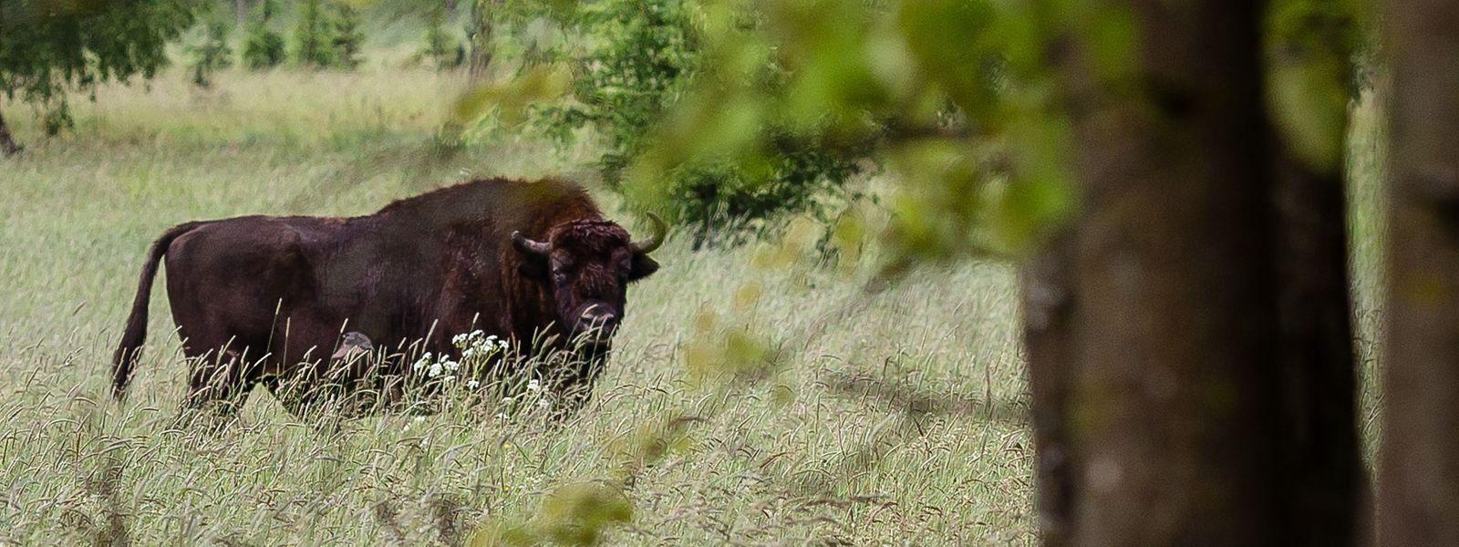 Der Wisent, oder europäischer Bison, kam noch bis ins frühe Mittelalter in West-, Zentral- und Südosteuropa vor. Dessen Ausrottung aber gipfelte im Jahre 1927, als der letzte freilebende Wisent im Kaukasus erschossen wurde. Alle heute lebenden Wisente stammen von nur zwölf in Zoos und Tiergehegen gepflegten Wisenten ab.