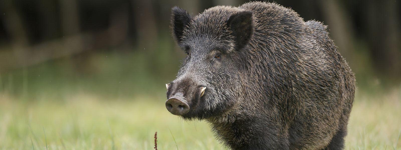 Bei der Drückjagd wurden insgesamt sieben Wildschweine erlegt.