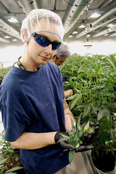 Jede Cannabispflanze wird einzeln gehegt und gepflegt.