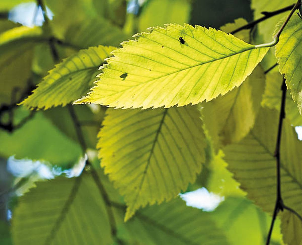 Die Blätter der Flatterulme.