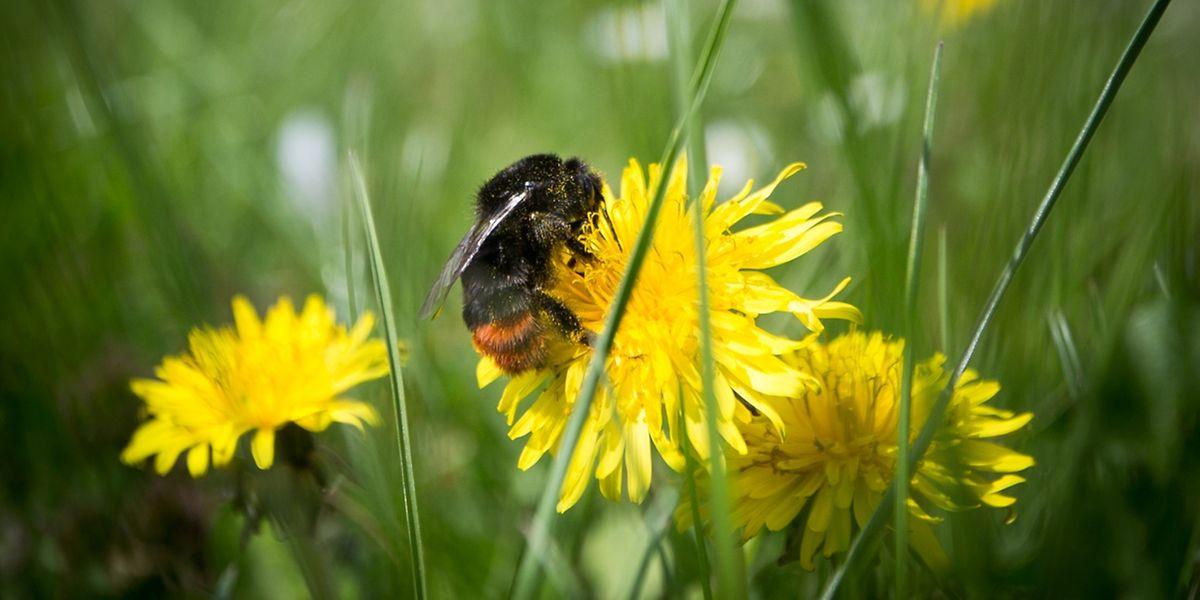 Hummeln und Honigbienen leisten mit dem Bestäuben der Blüten eine wichtige Arbeit.