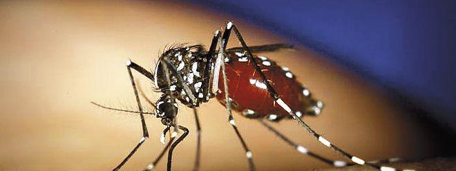 Die Tigermücke überträgt nicht nur Dengue -und  Chikungunya-Fieber, sondern auch das Zika-Virus.