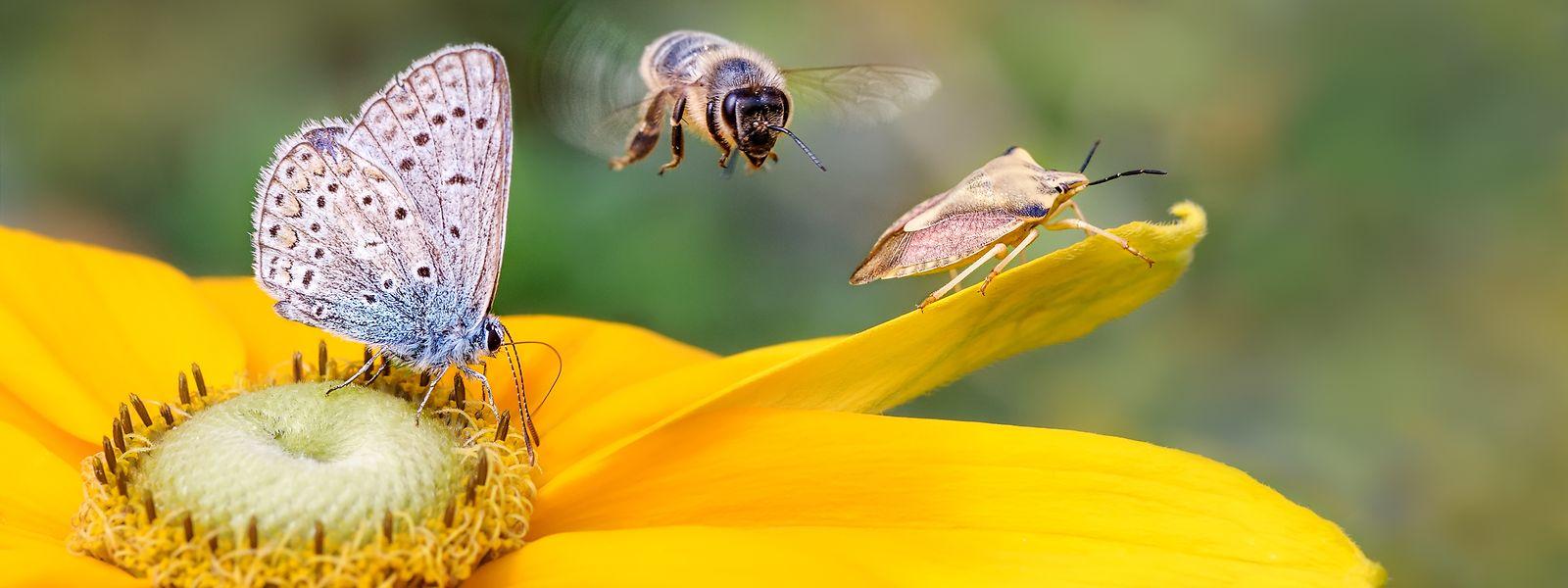 Auch Bestäuber wie Bienen und Schmetterlinge stehen in Luxemburg unter Druck.