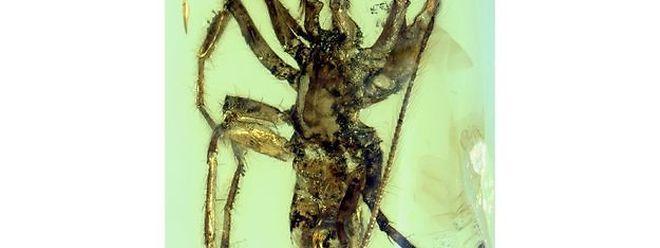 En plus de ses habituelles et quelque peu effrayantes pattes et filières (les appendices qu'elles utilisent pour fabriquer la soie et tisser leur toile), cette très vieille araignée aurait possédé une queue couverte de poils courts, ressemblant un peu à celle des scorpions.